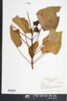 Catalpa ovata image