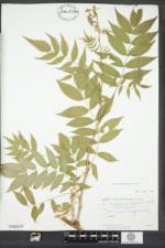 Sorbaria sorbifolia image