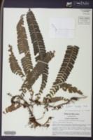 Image of Lindsaea scandens