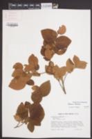 Vaccinium fuscatum image
