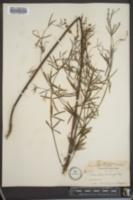 Pediomelum linearifolium image