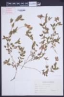 Image of Lathyrus cicera