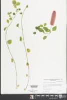 Image of Acalypha herzogiana