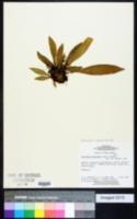 Image of Antrophyum cajenense