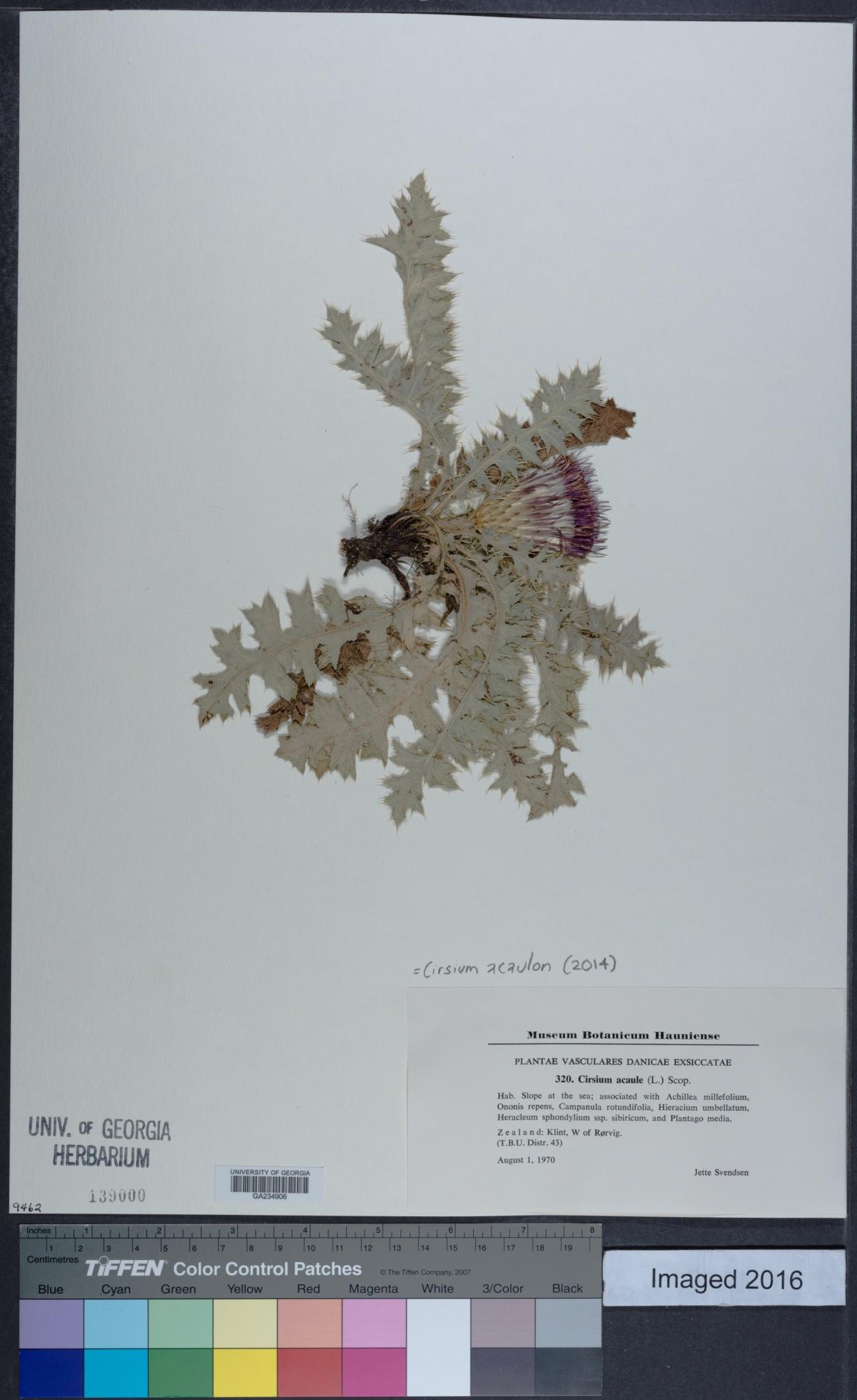 Cirsium acaulon image