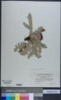 Image of Cirsium acaulon
