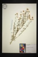Image of Dalea multiflora