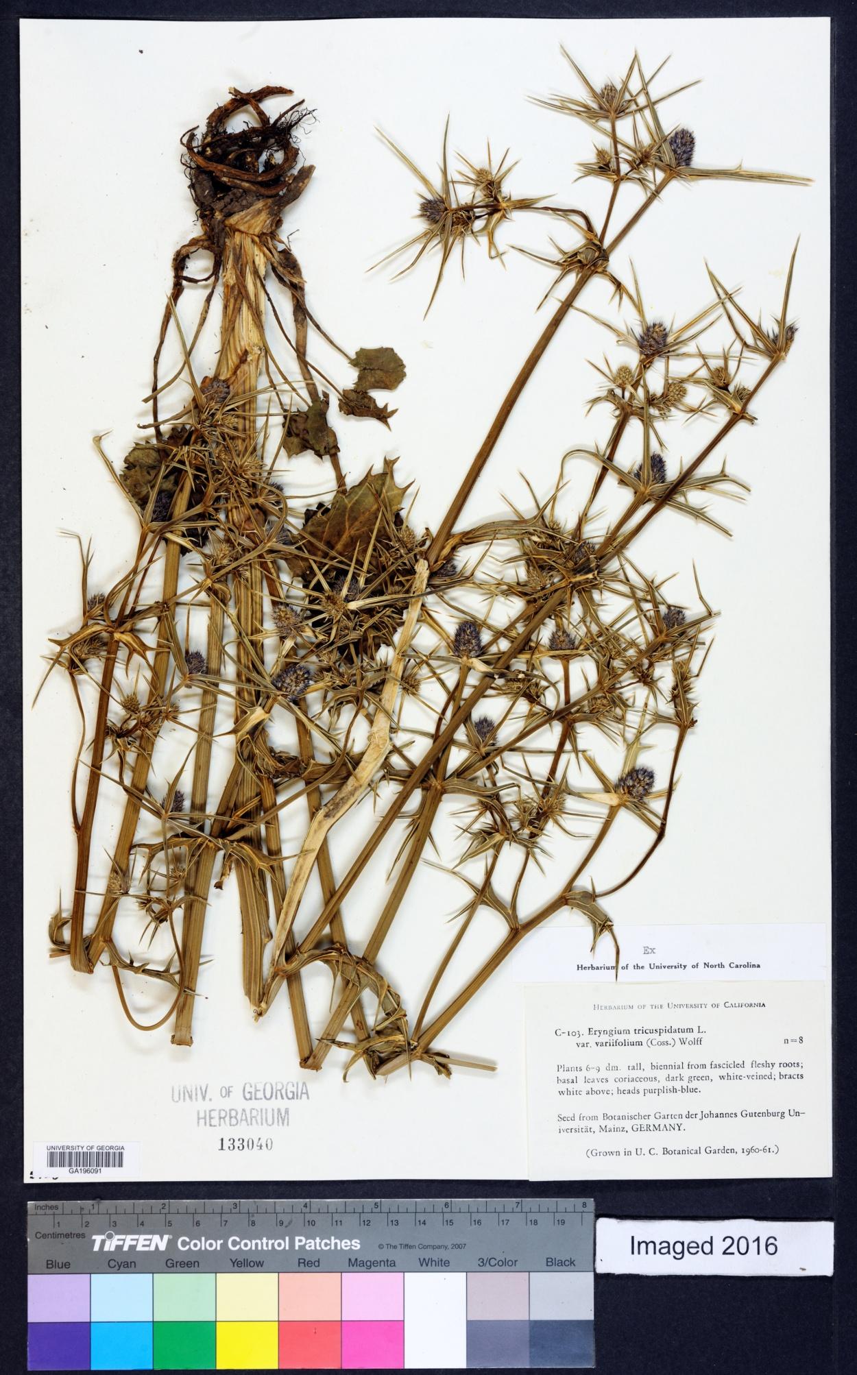 Eryngium tricuspidatum image