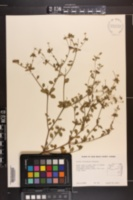 Image of Croton floridanus