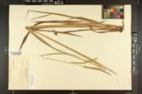 Paspalum floridanum var. glabratum image