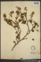 Ribes glutinosum image
