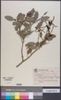Sebastiania commersoniana image