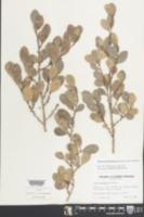 Heterosavia bahamensis image