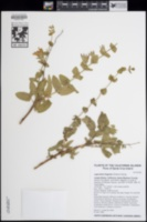 Image of Lepechinia fragrans