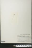 Utricularia minor image