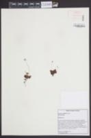 Drosera capillaris image