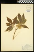 Aesculus glabra var. glabra image