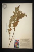 Image of Hyptis carpinifolia