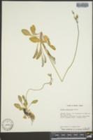 Image of Primula laurentiana