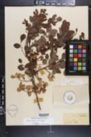 Robinia grandiflora image