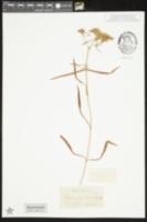 Flaveria linearis image