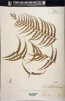 Asplenium caudatum image