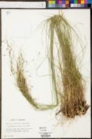 Phyllostachys nigra image