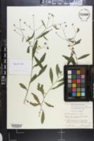Image of Boltonia apalachicolensis