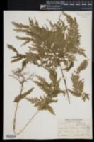 Image of Selaginella cupressina