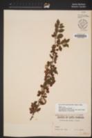 Image of Cotoneaster amoenus