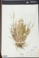 Panicum laxiflorum image