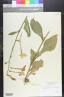 Image of Nicotiana maritima