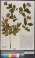 Image of Dais cotinifolia