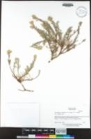 Ericameria greenei image