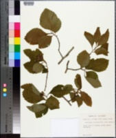 Image of Crataegus brazoria