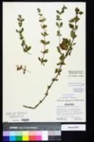 Clinopodium georgianum image