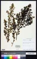 Image of Baccharis myrsinites