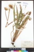 Agoseris grandiflora image