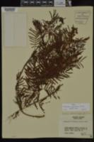 Image of Acaciella angustissima