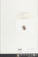 Image of Lampranthus multiradiatus