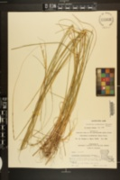Sporobolus clandestinus image