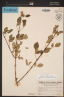 Image of Fraxinus parryi