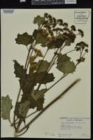 Cacalia muehlenbergii image