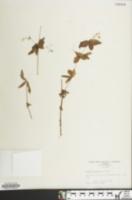 Image of Galium latifolium