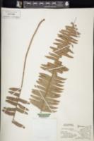 Nephrolepis multiflora image