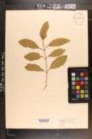 Image of Citharexylum fruticosum
