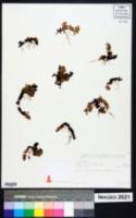 Image of Anagallis serpens