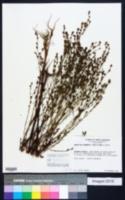 Hypericum drummondii image