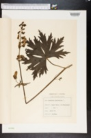 Image of Aconitum lycoctonum