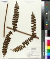 Image of Didymochlaena truncatula
